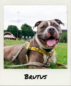 alumni brutus